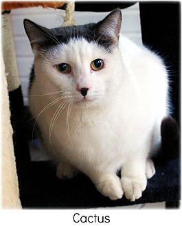 Domestic Shorthair Cat for adoption in Huntington, New York - Cactus
