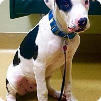 Adopt A Pet :: Atticus - Gilbert, AZ