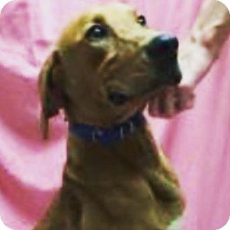 Boxer/Hound (Unknown Type) Mix Dog for adoption in Liberty Center, Ohio - Wrigley