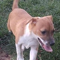 Jack Russell Terrier/Chihuahua Mix Puppy for adoption in El Paso, Texas - Anna