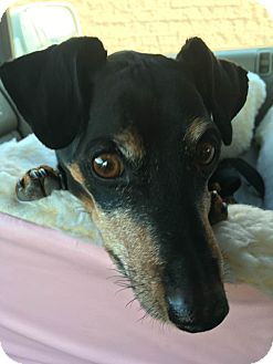 Miniature Pinscher Dog for adoption in Denver, Colorado - Sprocket