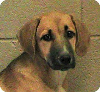 German Shepherd Dog/Husky Mix Puppy for adoption in Maynardville, Tennessee - Rhonda