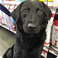 Adopt A Pet :: Phoenix-adoption pending - Schaumburg, IL