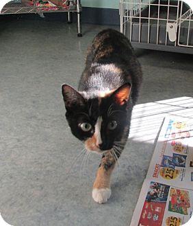 Domestic Shorthair Cat for adoption in Warrenton, North Carolina - Ann