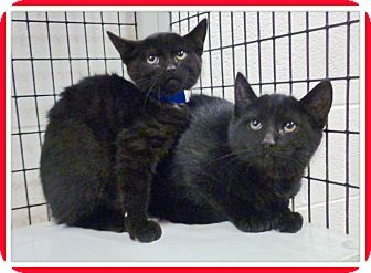 Domestic Shorthair Kitten for adoption in Marietta, Georgia - CASPER & CARBON (R)