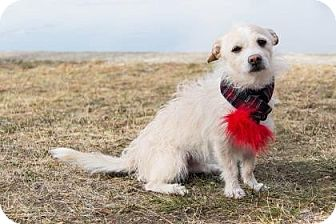 Terrier (Unknown Type, Small) Mix Dog for adoption in Lowell, Massachusetts - Kingsley