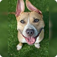 Adopt A Pet :: Poncho - Alpharetta, GA