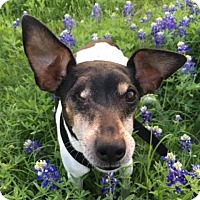 Jack Russell Terrier/Rat Terrier Mix Dog for adoption in Austin, Texas - Trombone