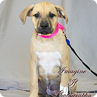 Boxer Mix Puppy for adoption in Newcastle, Oklahoma - Quinn