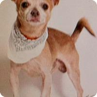 Adopt A Pet :: Buttercup, one special lovebug - Corona, CA