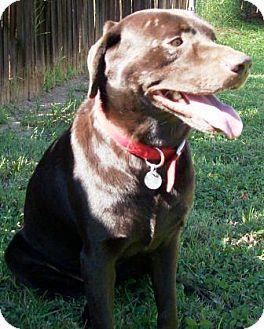 Labrador Retriever Dog for adoption in Gilbert, Arizona - Yote