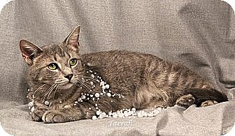 Domestic Shorthair Cat for adoption in Kerrville, Texas - Farrah
