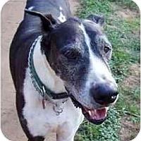 Adopt A Pet :: DOMINOE - Pearl River, NY