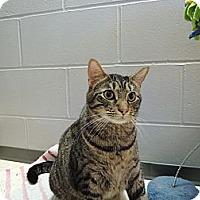 Domestic Shorthair Cat for adoption in House Springs, Missouri - Barrel