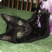 Adopt A Pet :: Max (Shoulder Rider) - Arlington, VA