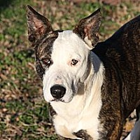 Blue Heeler/Staffordshire Bull Terrier Mix Dog for adoption in Georgetown, Texas - Bandit