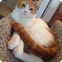 "Adopt A Pet :: SADDLES, ""purring machine"" - Bryn Mawr, PA"