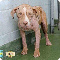 Bulldog/Pit Bull Terrier Mix Dog for adoption in HIALEAH, Florida - Gabby