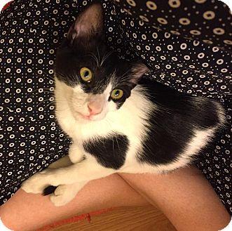 Domestic Shorthair Kitten for adoption in Tucson, Arizona - Wonder Twin Jayna