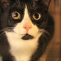 Domestic Shorthair Kitten for adoption in Carlisle, Pennsylvania - Lynxie