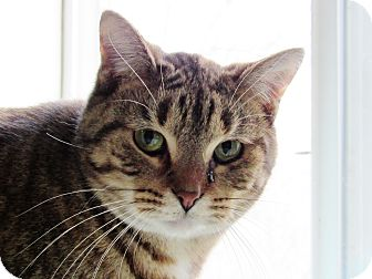 Domestic Shorthair Cat for adoption in Grinnell, Iowa - Keebler