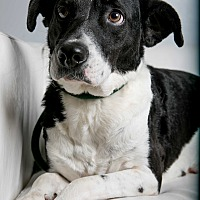 Border Collie/Shepherd (Unknown Type) Mix Dog for adoption in Inglewood, California - Belle