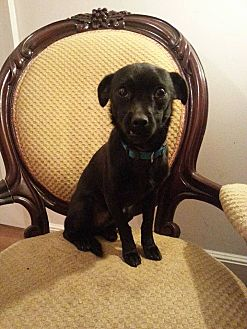 Chihuahua Mix Puppy for adoption in Gaithersburg, Maryland - Luke