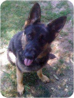 German Shepherd Dog Dog for adoption in Pike Road, Alabama - King