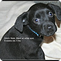 Adopt A Pet :: Stitch - Poughkeepsie, NY