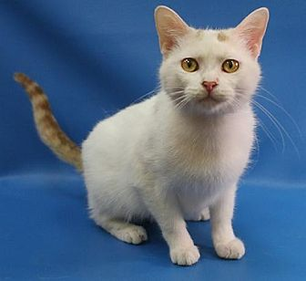 Domestic Shorthair Cat for adoption in Overland Park, Kansas - Misty