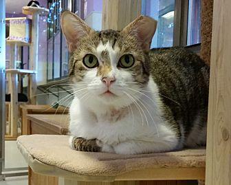 Domestic Shorthair Cat for adoption in Grayslake, Illinois - Solomon