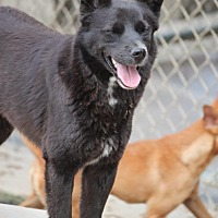 Schipperke Mix Dog for adoption in Cranston, Rhode Island - Little Bear