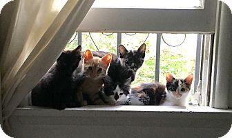 American Shorthair Kitten for adoption in Los Angeles, California - KITTENS