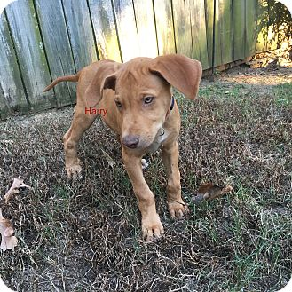 Hound (Unknown Type) Mix Puppy for adoption in Manchester, Connecticut - Harry meet me 10/28