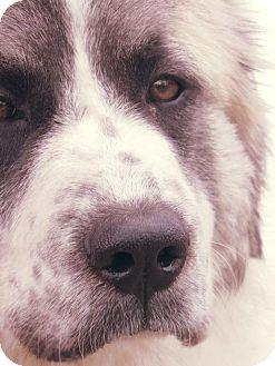 Great Pyrenees/Anatolian Shepherd Mix Dog for adoption in Kiowa, Oklahoma - Janet