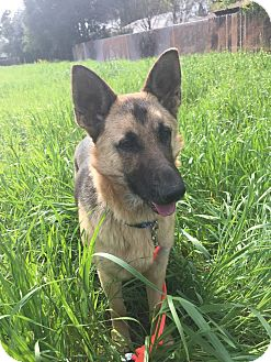 German Shepherd Dog Mix Dog for adoption in Martinez, California - Minka