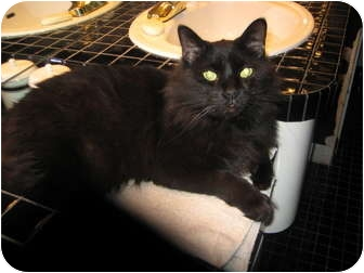 Maine Coon Cat for adoption in Jeffersonville, Indiana - Griffin