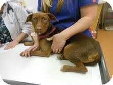 Whippet/Doberman Pinscher Mix Dog for adoption in Lebanon, Maine - Lauren-URGENT