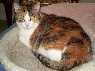 Domestic Shorthair Cat for adoption in Tomball, Texas - Carmina