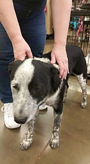 Australian Cattle Dog Dog for adoption in Fresno, California - Gus