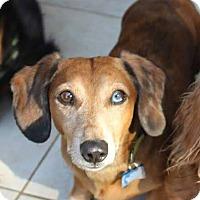 Adopt A Pet :: Goose - Marcellus, MI