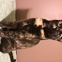 Domestic Shorthair Cat for adoption in O'Fallon, Missouri - Amber