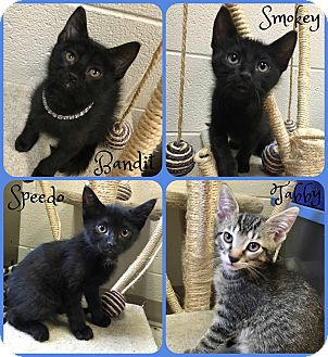 Domestic Shorthair Kitten for adoption in Joliet, Illinois - Speedo