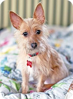 Yorkie, Yorkshire Terrier/Terrier (Unknown Type, Medium) Mix Dog for adoption in San Diego, California - Pauline