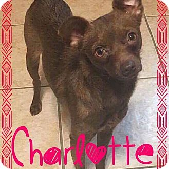 Chihuahua/Miniature Pinscher Mix Dog for adoption in Fort Wayne, Indiana - Charlotte