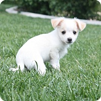 Adopt A Pet :: Klancy - Henderson, NV
