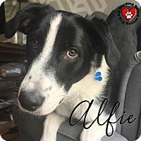 Adopt A Pet :: Alfie - Joliet, IL