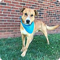 Boxer/Labrador Retriever Mix Dog for adoption in Lexington, North Carolina - BUDDY