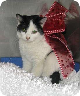 Domestic Mediumhair Kitten for adoption in Washington Terrace, Utah - Myrrh
