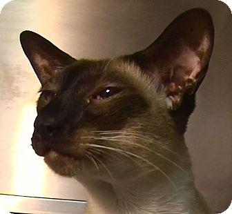 Siamese Cat for adoption in El Cajon, California - Arthur